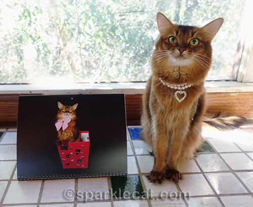 somali cat posing with February from 2018 calendar
