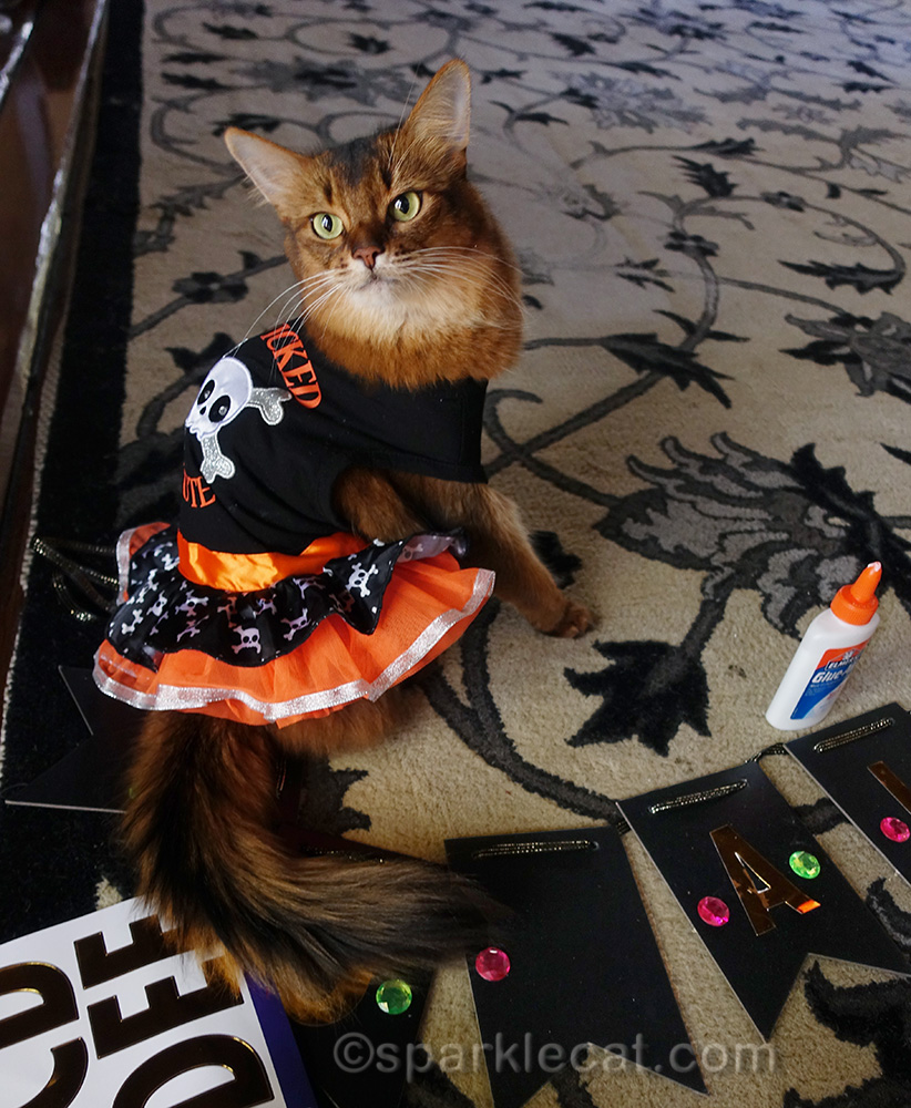 somali cat wearing Halloween dress