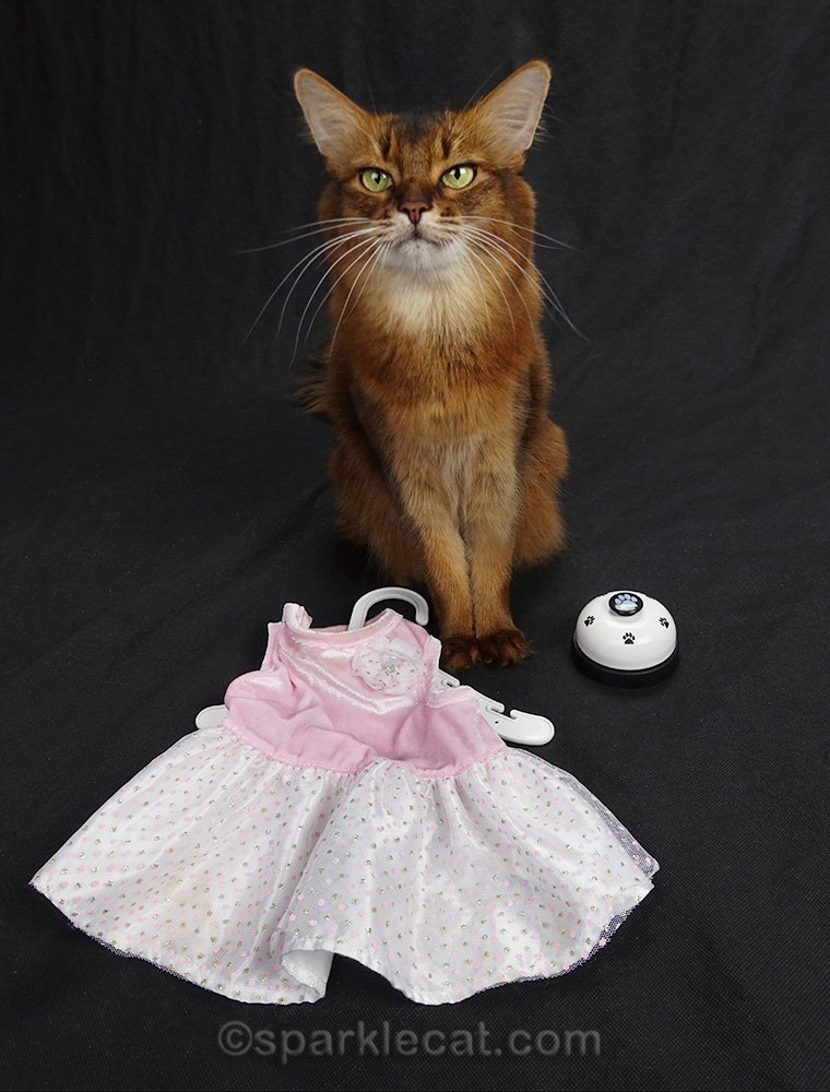 somali cat with dress and desk bell for playtime