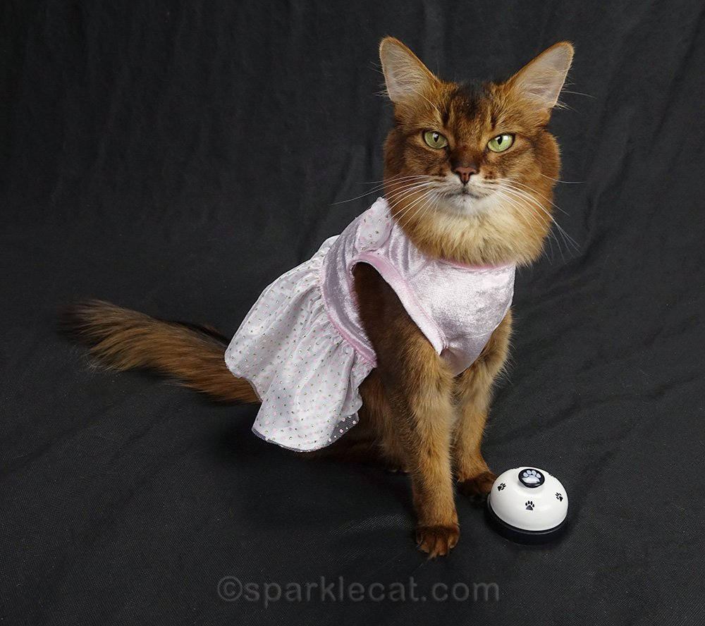 somali cat in a dress with desk bell