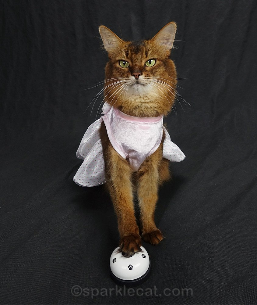 somali cat ringing desk bell while wearing dress