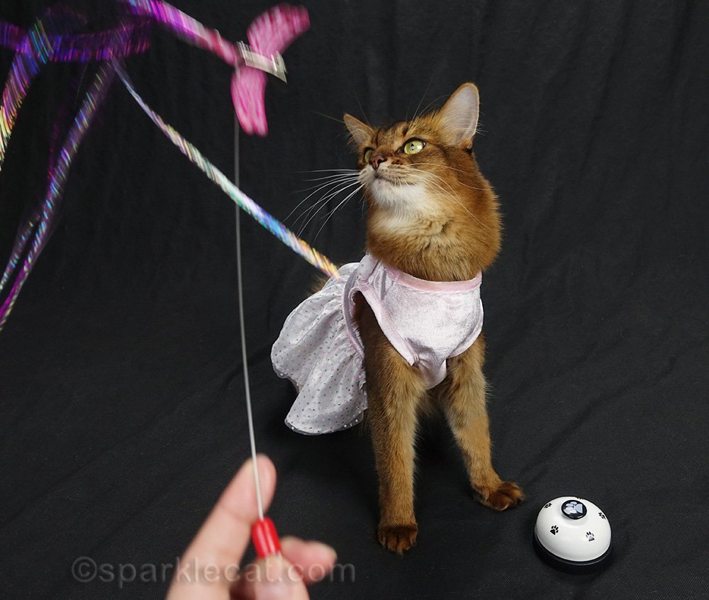 somali cat in dress with actual cat toy