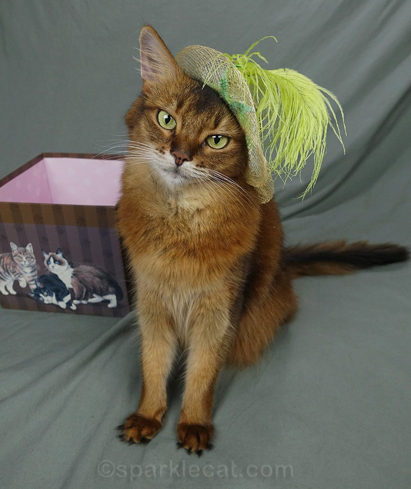 somali cat wearing cute cat hat