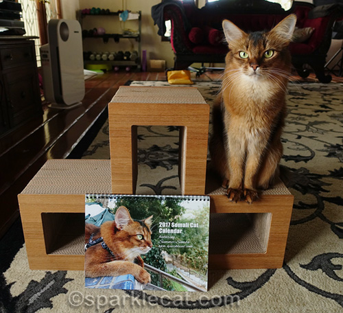 somali cat posing with a calendar of herself