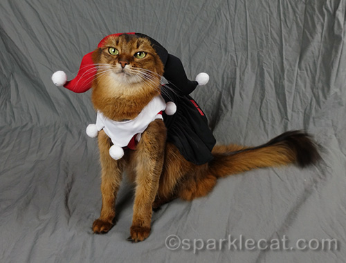 somali cat annoyed that Harley Quinn outfit covers her ears