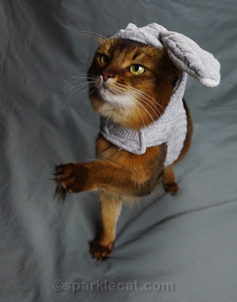 somali cat in bunny hoodie with paw raised