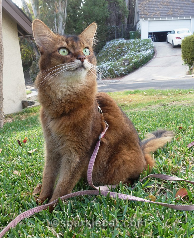somali cat in yard watching birds