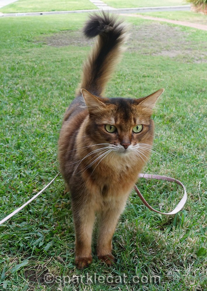 Somali cat just standing in front yard