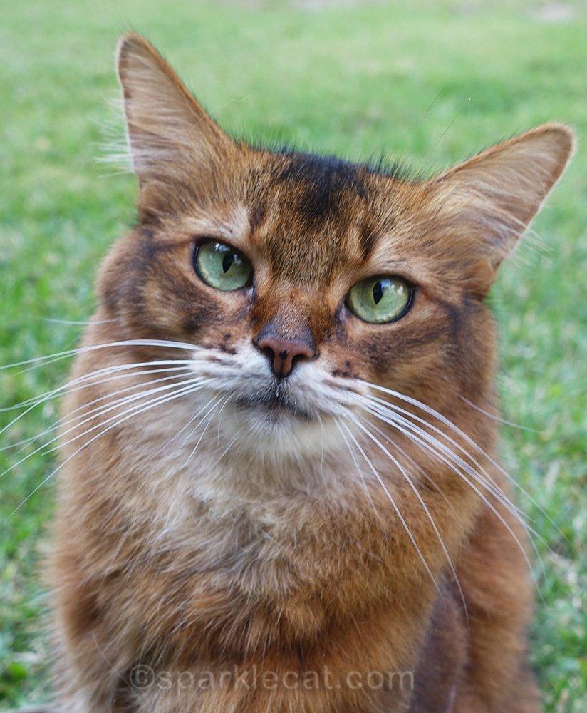 mediocre somali cat portrait