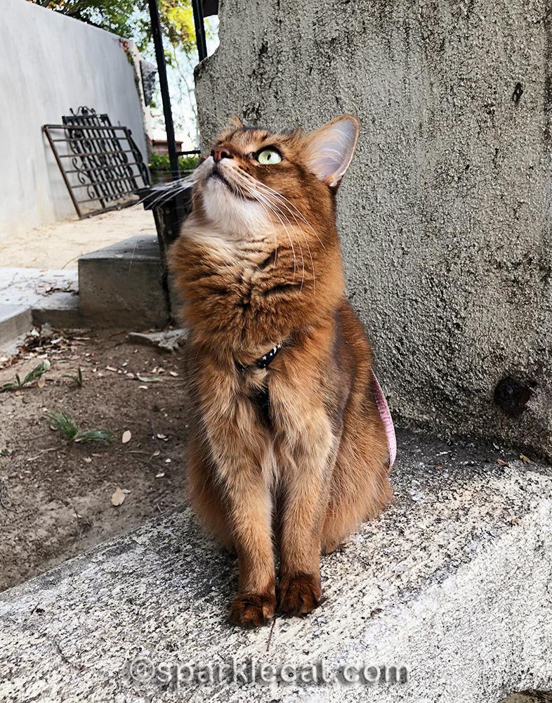 somali cat watching birds