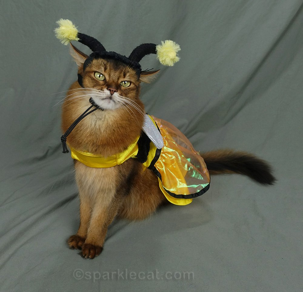 somali cat in a bee costume