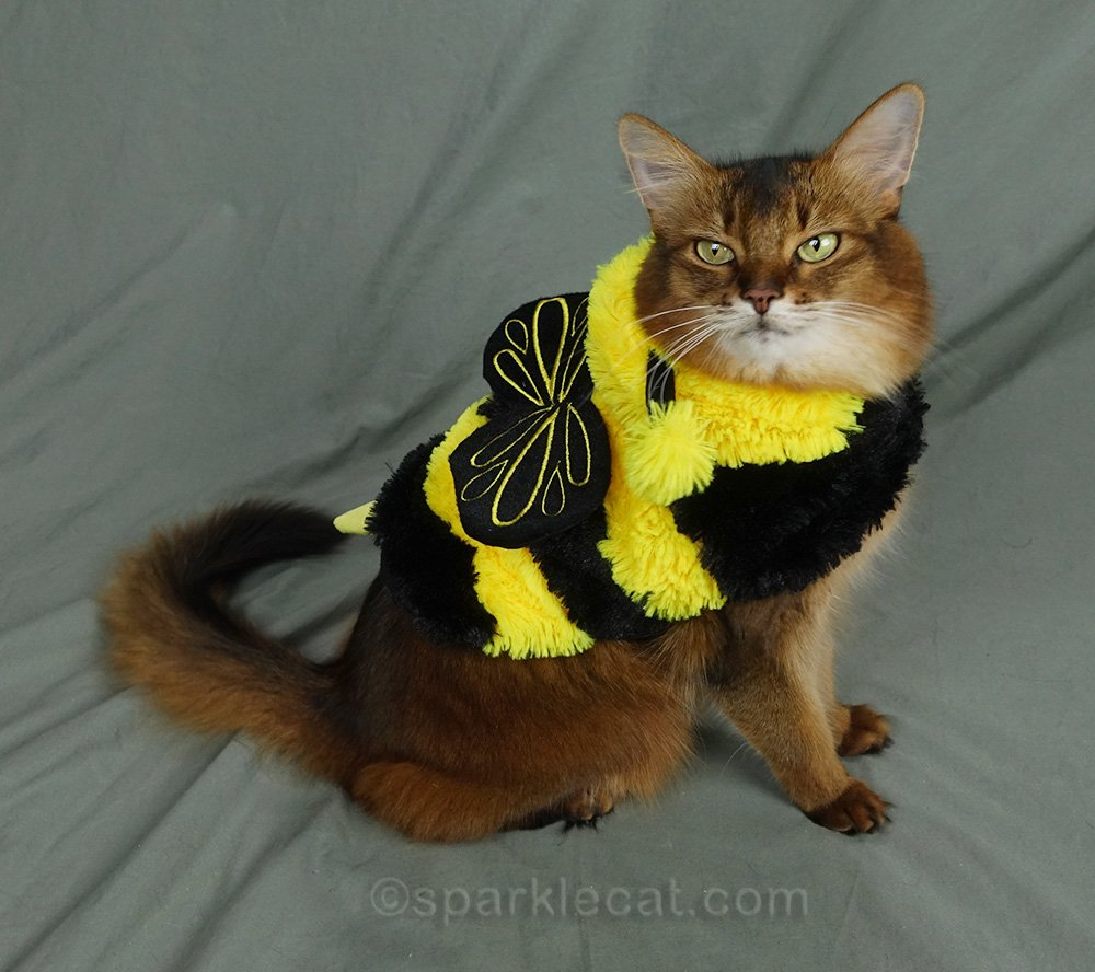 somali cat showing off the wings of her one-piece bee costume