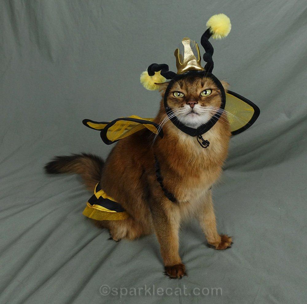 somali cat wearing awkward three-piece bee costume