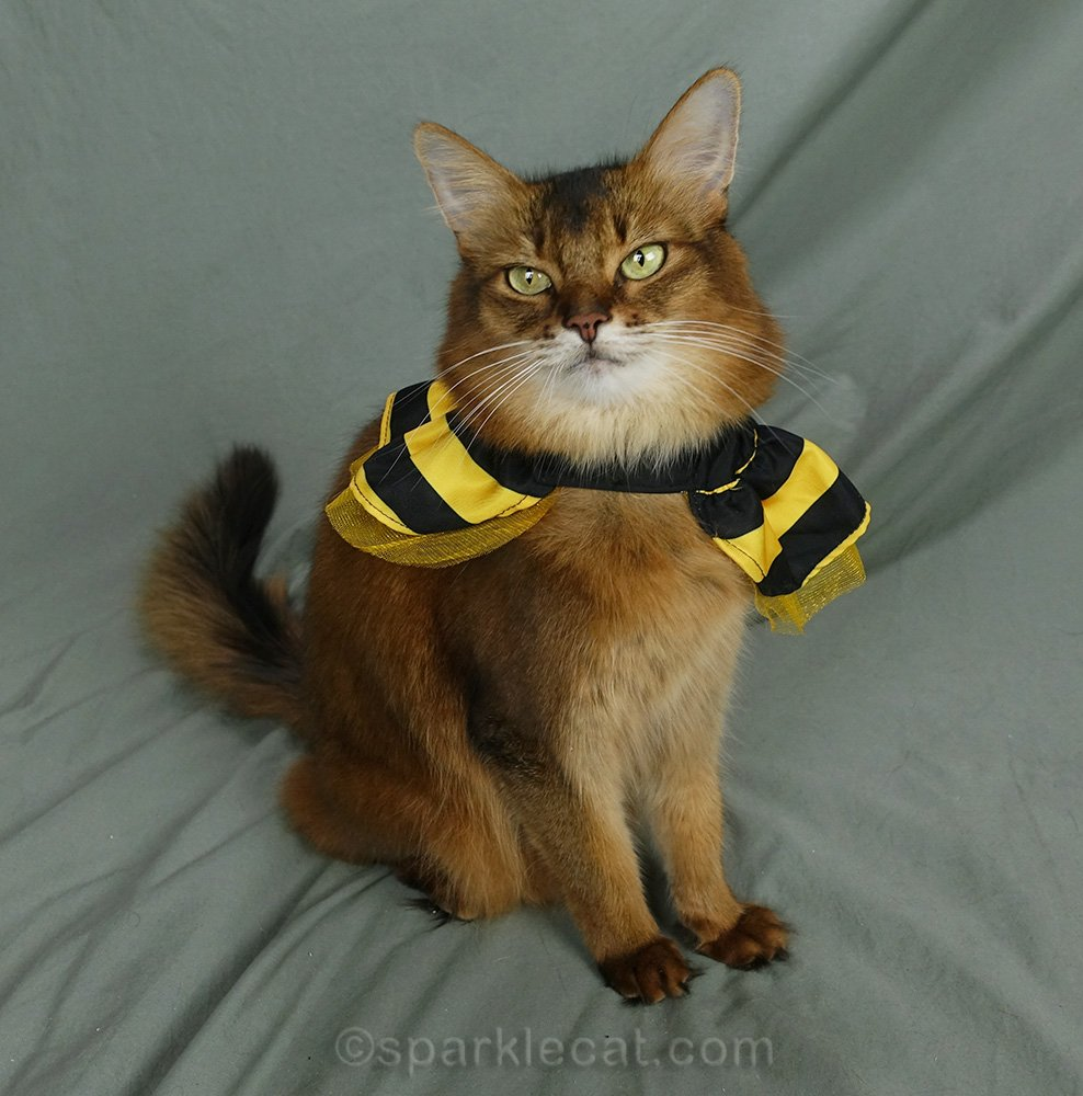 somali cat wearing bee skirt costume as a cape