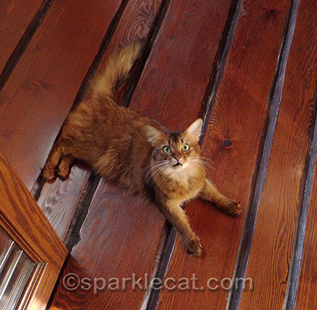 Somali cat, surprised cat, wood floor