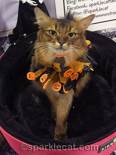 somali cat in halloween collar