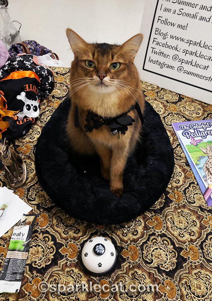 somali cat wearing goth choker