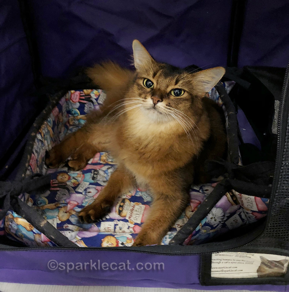 somali cat in show enclosure, ready to meet her public