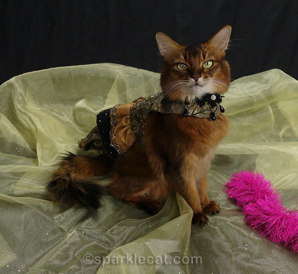 somali cat in fancy dress
