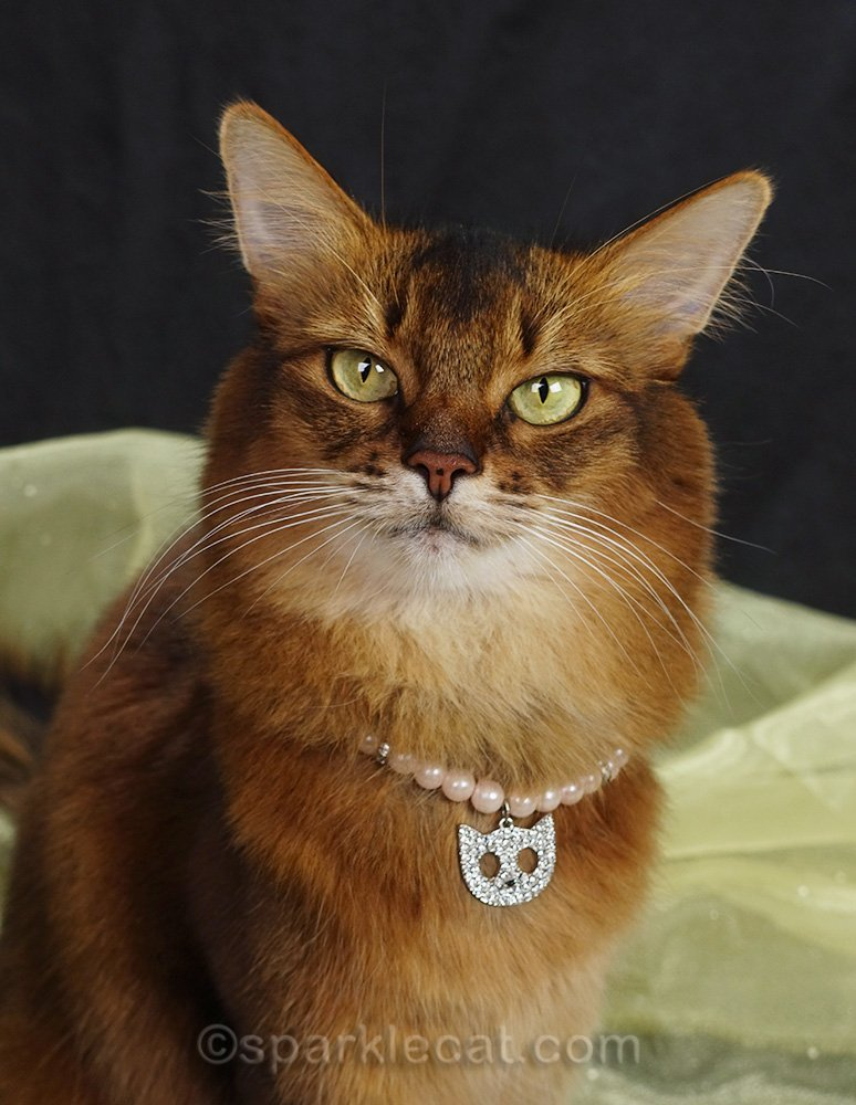 somali cat wearing pearl and rhinestone cat necklace