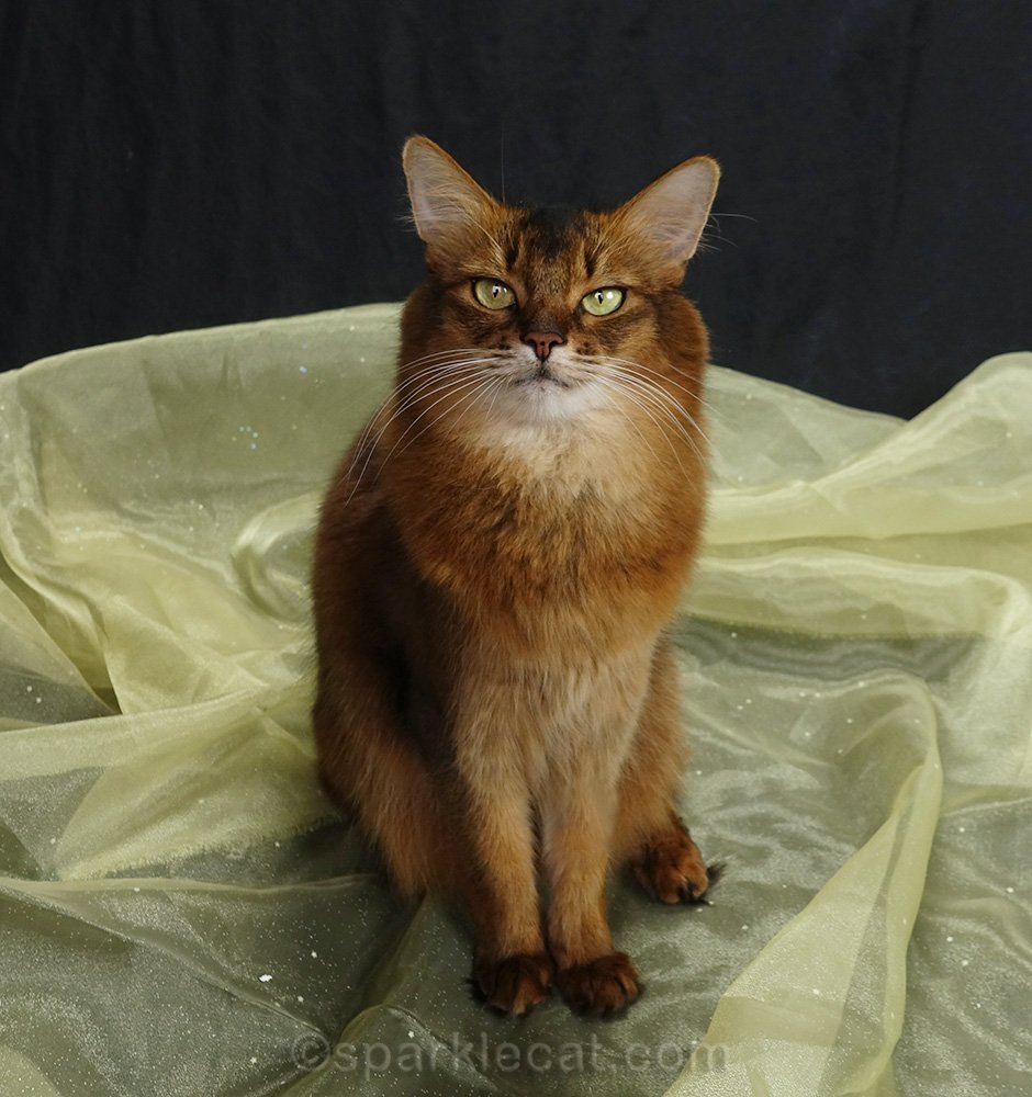 somali cat disappointed that there are no fancy dress parties on National Cat Day