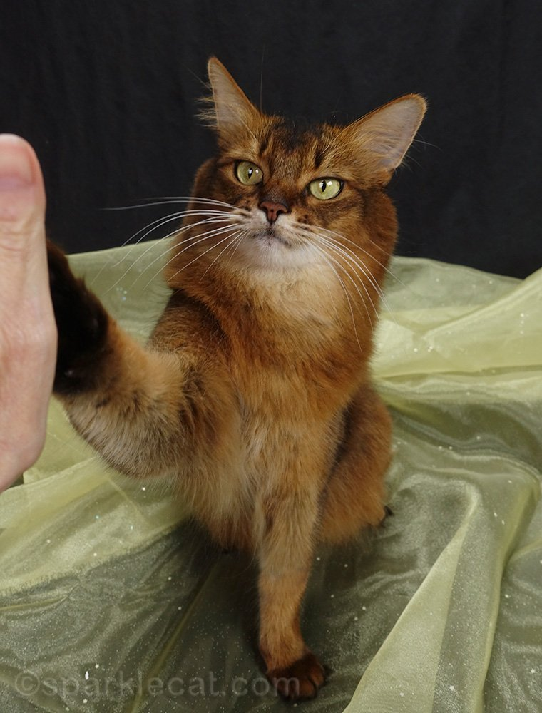 somali cat giving high five for National Cat Day