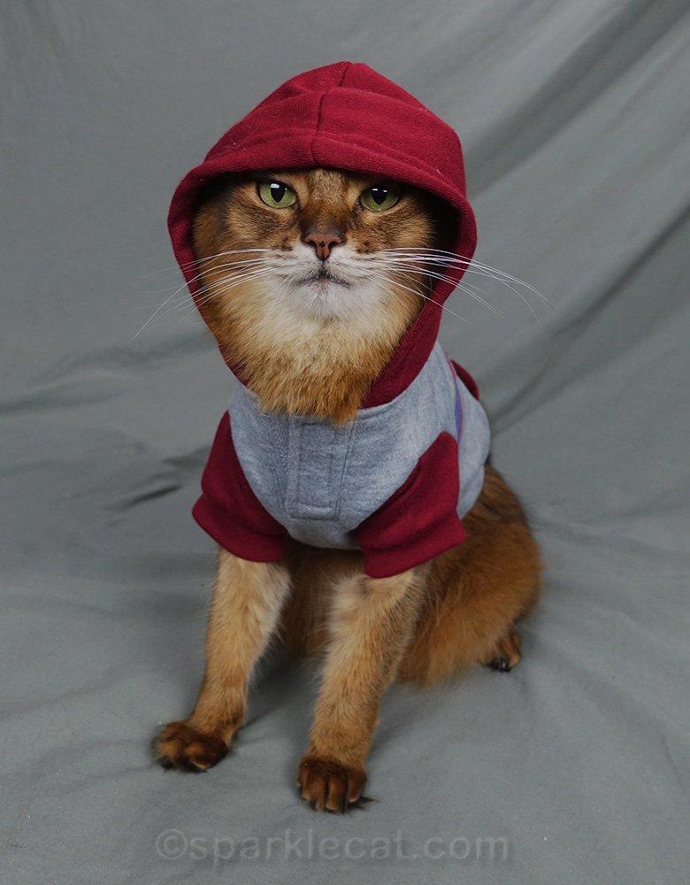 somali cat in hooded sweatshirt