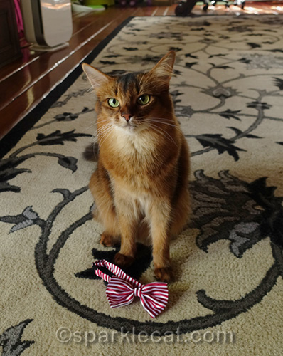 somali cat with bow tie collar at her feet
