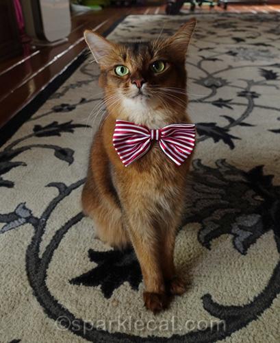 somali cat wearing cute bow tie