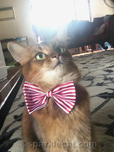 somali cat taking selfie with glare in background