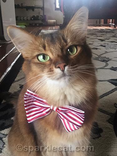 somali cat selfie with bow tie