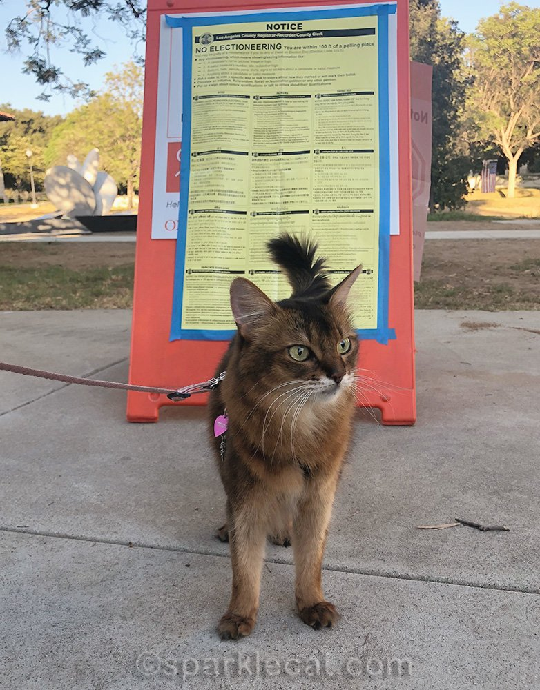 Somali cat on leash in front of electioneering sign at Voting Center