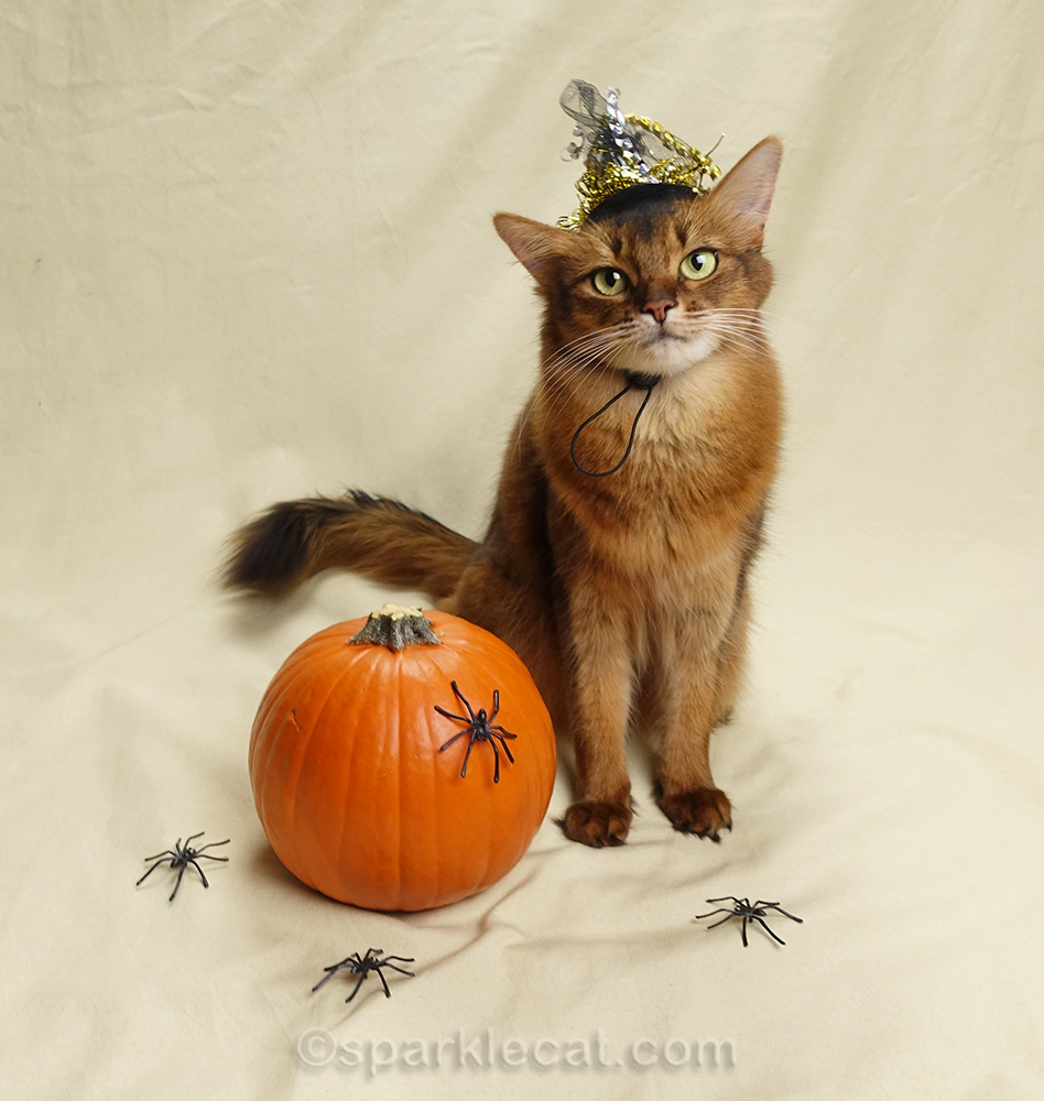 somali cat wearing tiny witch's hat