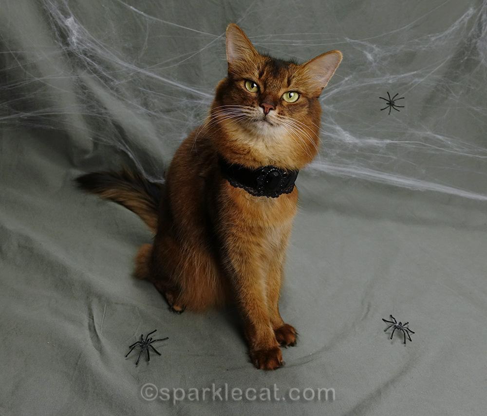 somali cat wearing a Goth choker