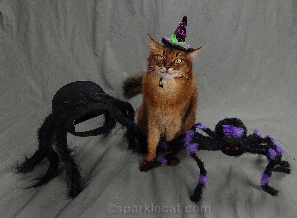 somali cat in witch hat between two spiders