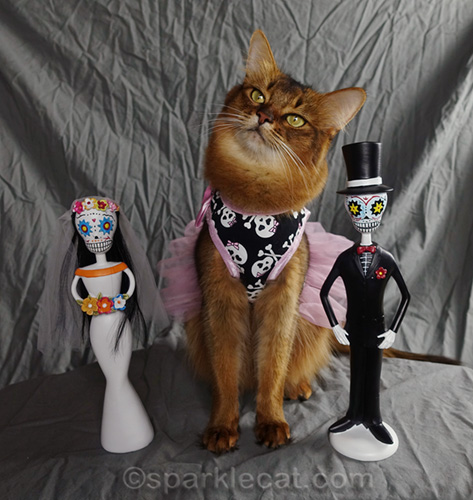 somali cat pondering on day of the dead