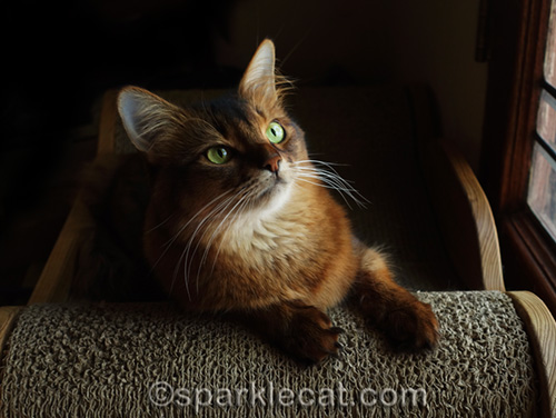somali cat in natural light