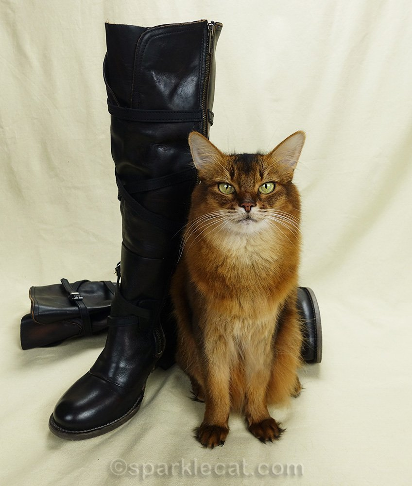 Somali cat posing with new leather boots