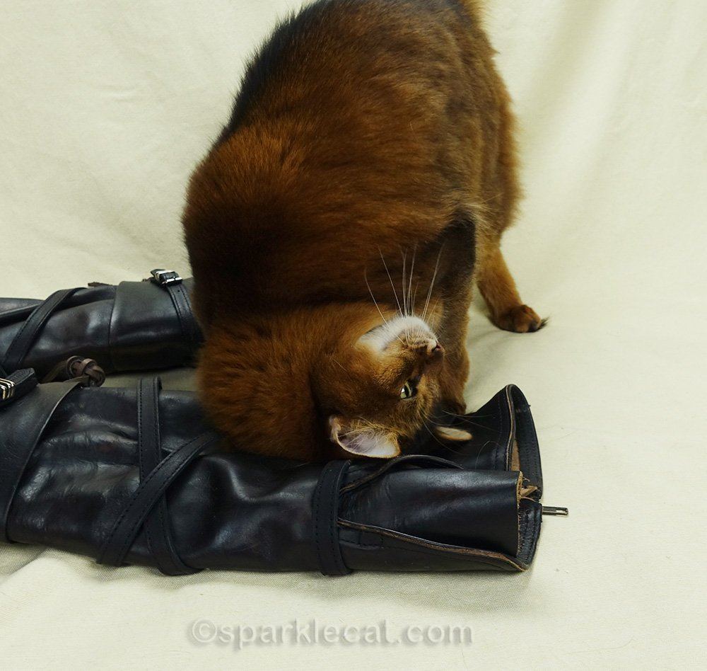 somali cat rubbing on leather boots