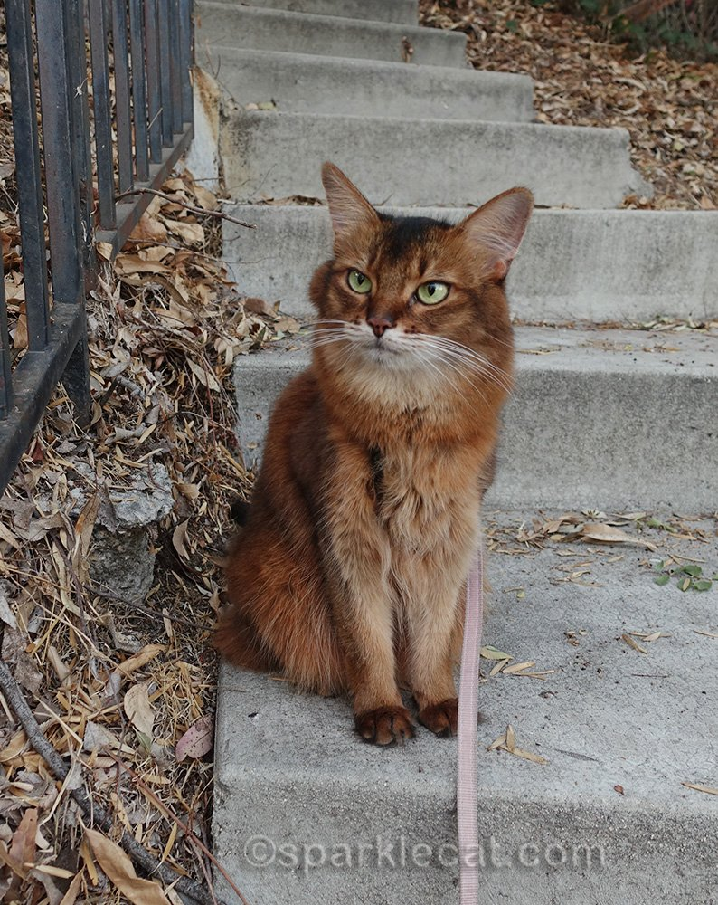 somali cat on leash on stairs