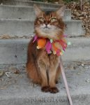 somali cat wearing a hair scrunchie collar
