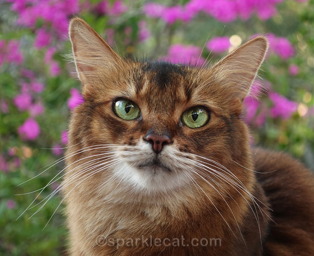 portrait of somali cat in front of bougainvilleas