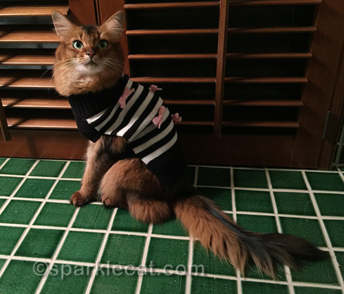 somali cat getting ready for winter in new sweater