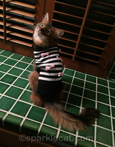 somali cat in supermodel pose in sweater