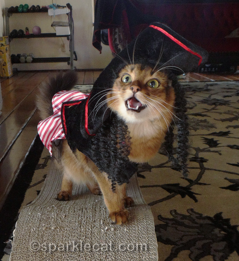 playful somali cat wearing pirate costume