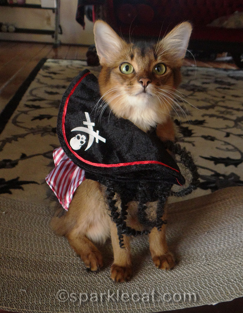 somali cat in pirate outfit, with hat falling off