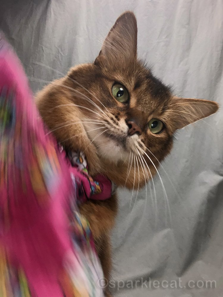 somali cat trying to reach for iPhone, and getting her paw caught in her scarf