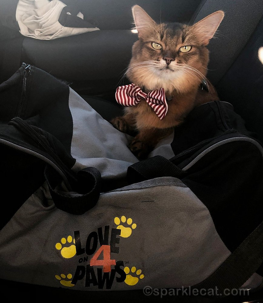 therapy cat ready to go to work at City of Hope's Walk for Hope