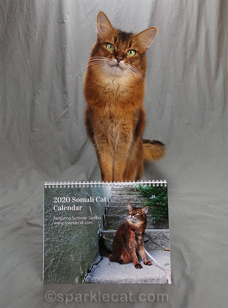 somali cat posing with her 2020 calendar