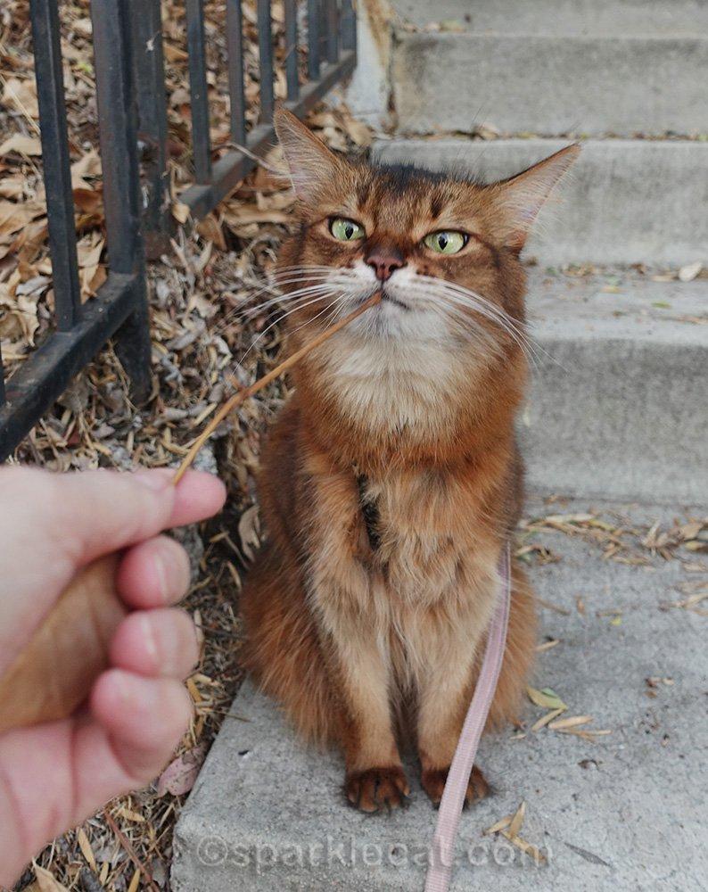 Somali cat looking at stick